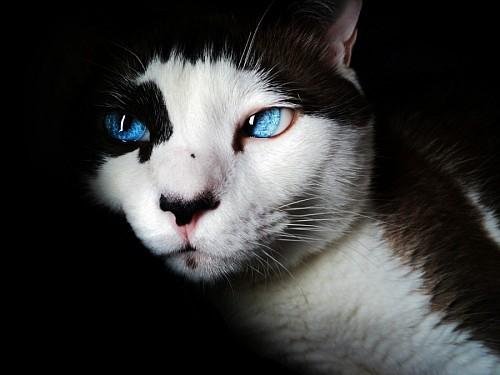 Ojos azules intensos de gato para fondo de pantalla