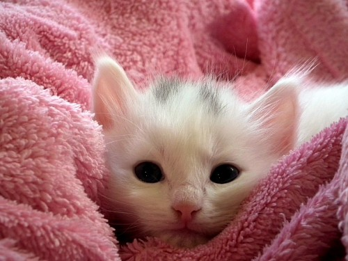 Bebé gatito sobre felpa rosa para fondo de pantalla