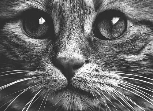Bello retrato en blanco y negro de mirada felina