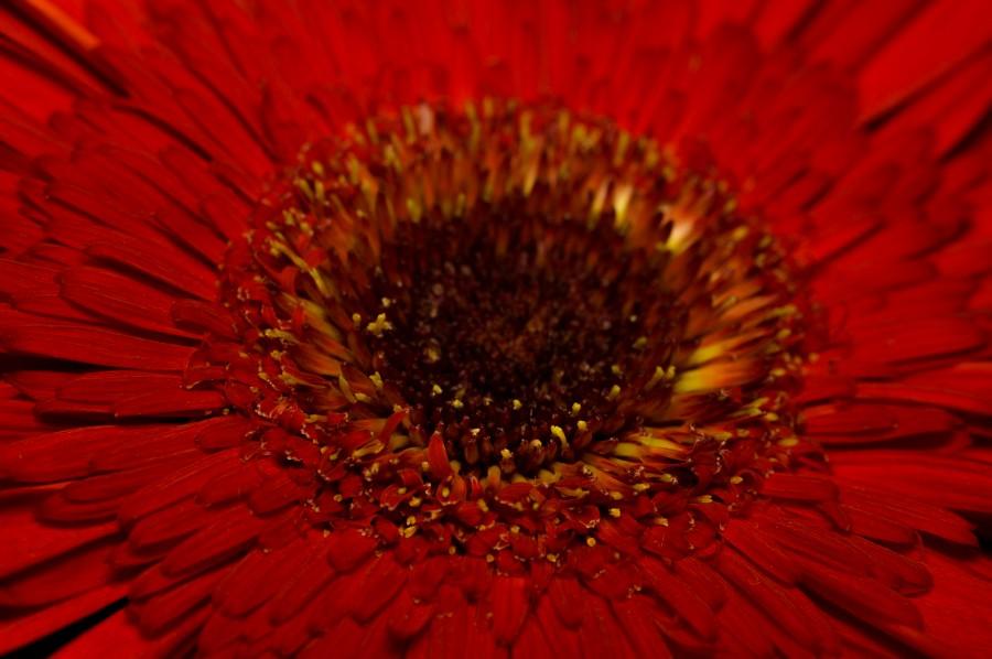 hermosa, flor, flora, flores, fondos de pantalla hd, hojas, naturaleza, belleza, natural, hojas, primavera, pimpollo, pétalos, degradé de color, florecer, gerberas, Fondo de Pantalla HD