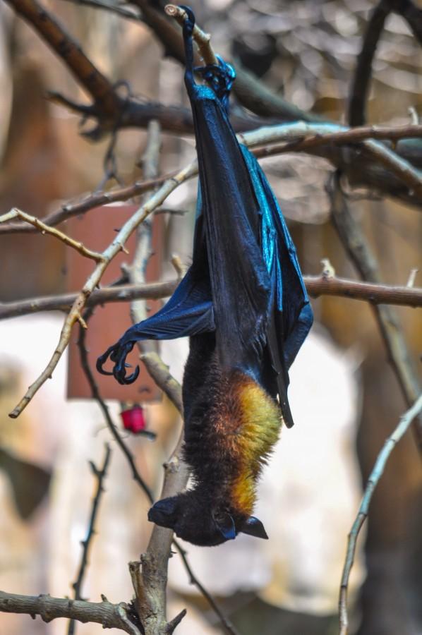 mamíferos voladores, nocturno, murciélago, alas, ramas, colgado, animal silvestre, Pteropus vampyrus , Zorros Volares, frugívoros, crepusculares