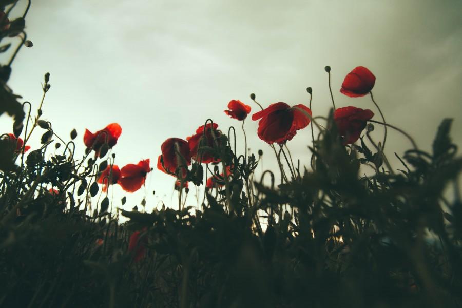 splitshire, paisaje, campo, flor, flores, rojo, rojas, exterior, vista de abajo, nadie,