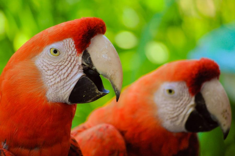 Ara chloropterus, ave, plumas, colorido, fauna, naturaleza, mamífero, animal, tropical, guacamayo rojo, guacamayo aliverde, loros, vida silvestre, pareja