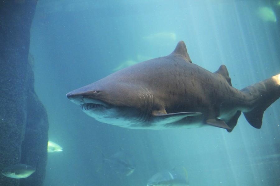 tiburon, pez, acuario, primer plano, vida marina,
