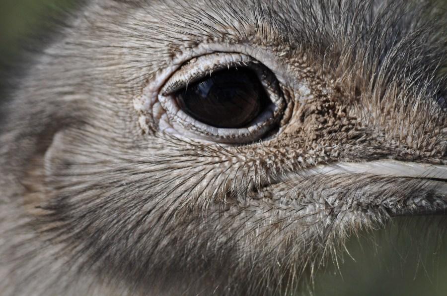 Avestruz, un animal, ave, ojo, plumas, plumaje, pico, veloz, velocidad, África,Africano,Altura,Animal,Apariencia,Ave,Avestruces,Aviar,Cabeza,Conservación,Conservar,Cuello,Struthio camelus