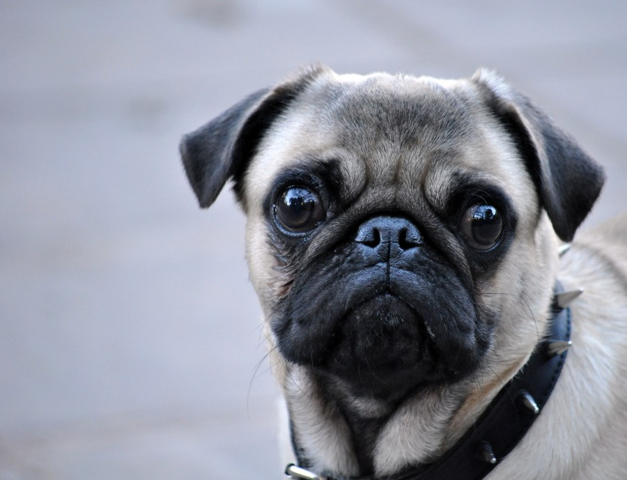 Fotos de perros pug carlino 69