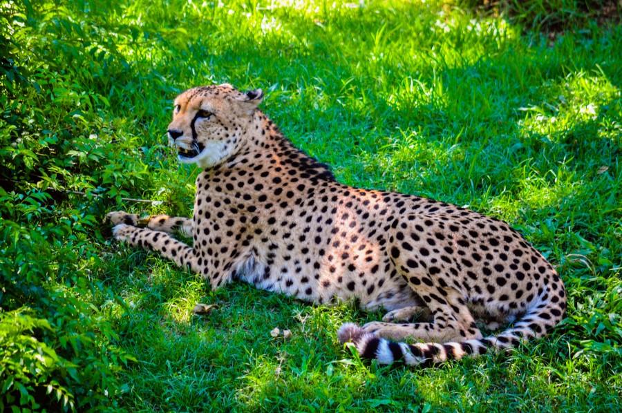 chita, guepardo , manchas, veloz, animal, animal silvestre, felino, carnívoro, cazador, Acinonyx jubatus, estepas, sabanas, áfrica, melena, pelaje, exótico, animal más veloz, césped, verde, naturaleza