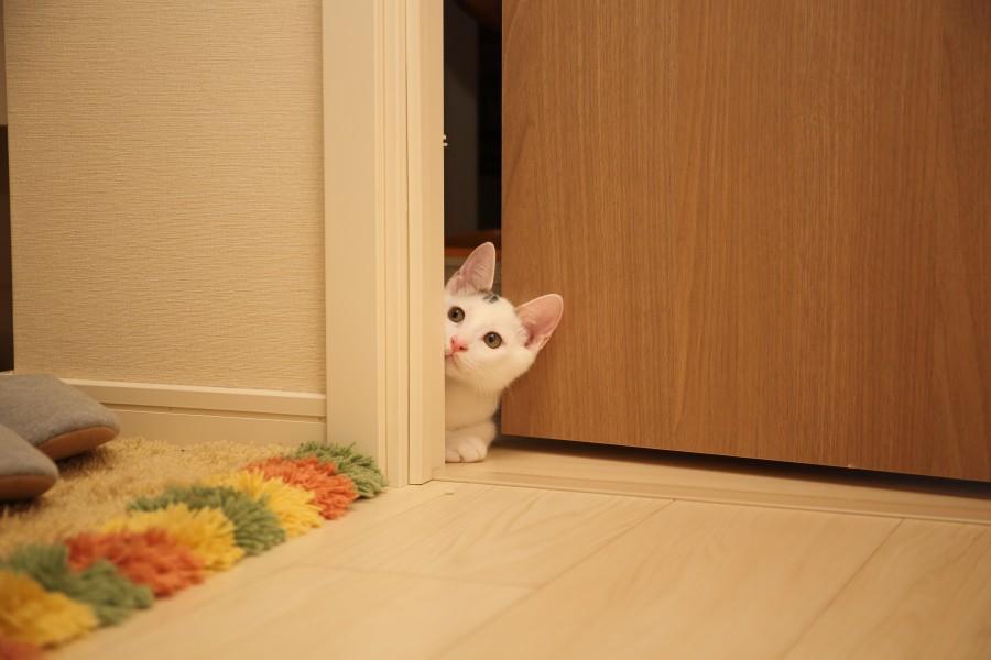 gato, animal, mascota, puerta, curiosidad, curioso, escondido, escondite, miedo, simpatico,