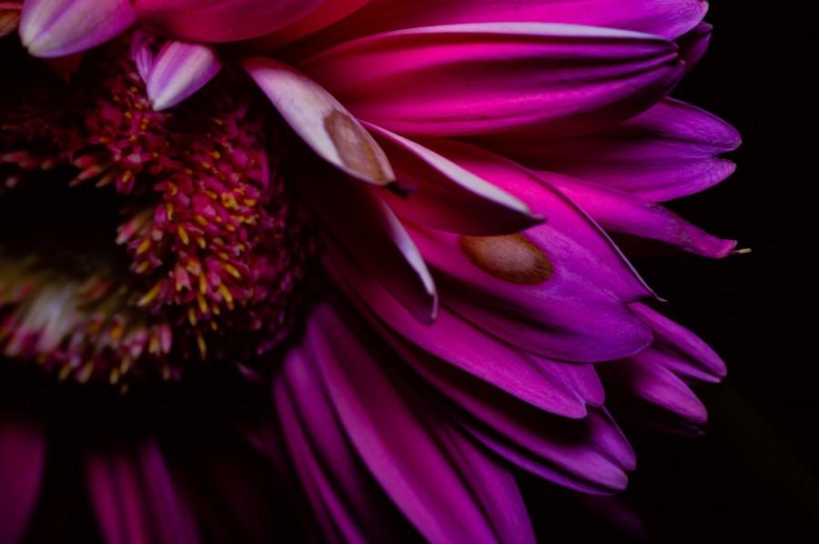 hermosa, flor, flora, flores, fondos de pantalla hd, hojas, naturaleza, belleza, natural, hojas, primavera, pimpollo, pétalos, degradé de color, florecer, yerberas, Fondos de Pantalla HD