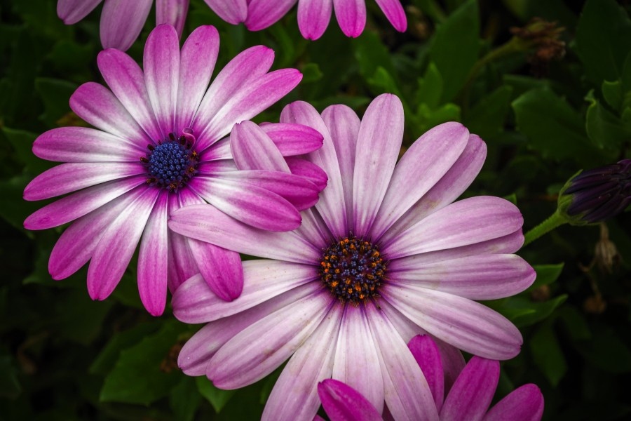 hermosa, flor, flora, flores, fondos de pantalla hd, hojas, naturaleza, belleza natural, violeta, rosa, verde, hojas, primavera, pimpollo, pétalos, degradé de color, florecer