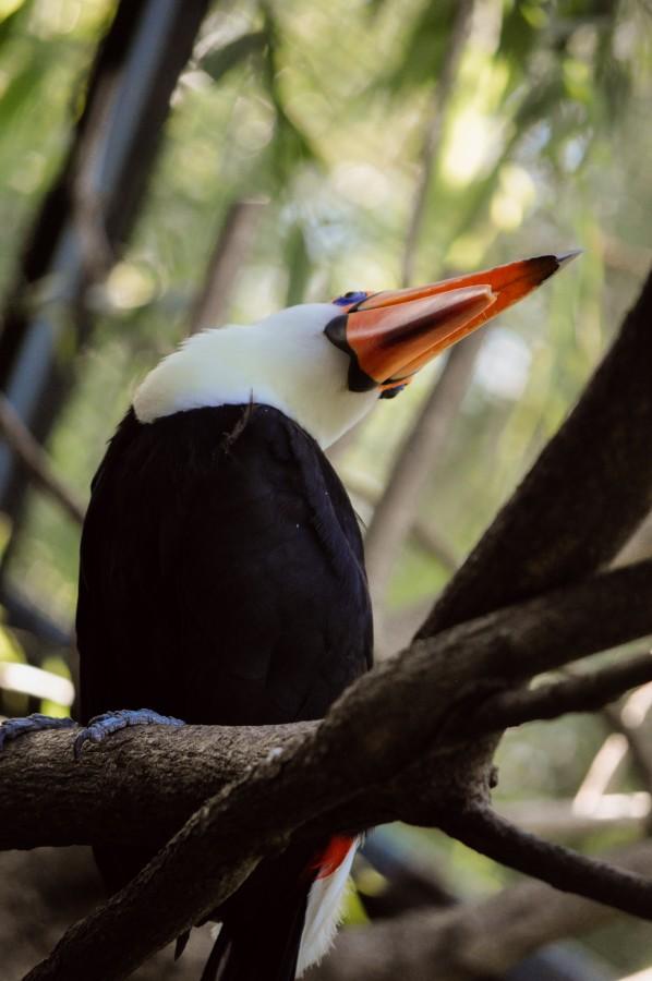 ave, tucán, plumas, pico, naranja, colorido, naturaleza, vida silvestre, animal, rama, árbol, ranfástidas, tucán común, fauna, tropical