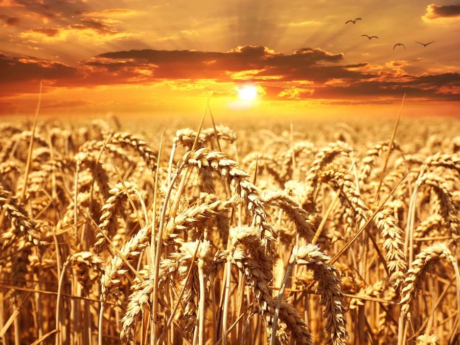 trigo, atardecer, campo, naturaleza, cultivo, dorado, espiga,