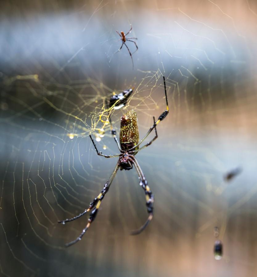 tela de araña, tejido, gotas, agua, mañana, naturaleza, fondo, textura, background, nadie, insecto, familia, mosca, trampa, atrapado,