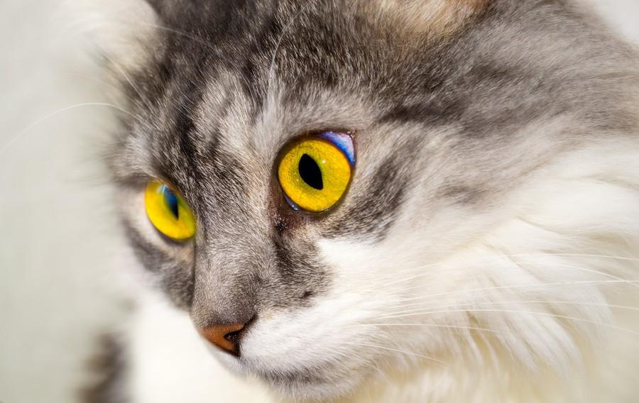 ojos amarillos, ojos grandes, mirada penetrante, gatito, bebé de gato, animales jóvenes, agresivo, caza, gato, pieles, encantadora, animales, carnívoros, lindo, esponjoso, cabello, bebé, mamífero, pata, mascotas, juguetón, retrato, pura sangre, pequeños, curioso, querido , fotos gratis,  imágenes gratis, Gato doméstico, Cabeza de animal, Retrato, Gato melado, Monada, Gatito, Animal, Fotografía, Mirando a la cámara, Animal doméstico, Animal joven, Color, Día, Horizontal, Interior, Mascota, Nadie, Ojo de Animal, Parte del cuerpo animal, Temas de animales, Un animal, adorable, tierno, mascota, peludo, melena, colores, pelos, rayas, felino, minino, micifuz, michino, madrileño, felido, gatuno,  fondos de pantalla hd, fondos de pantalla 4k, resolucion 4k, salvapantalla