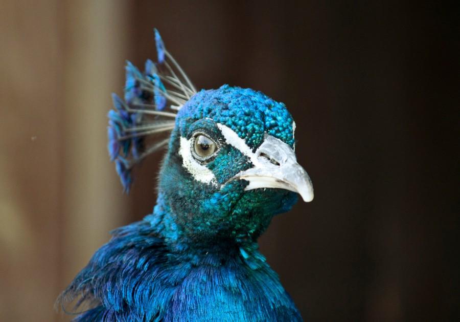 pavo real, cabeza, colorido, color, ave, salvaje, primer plano, belleza, naturaleza, exotico, azul,