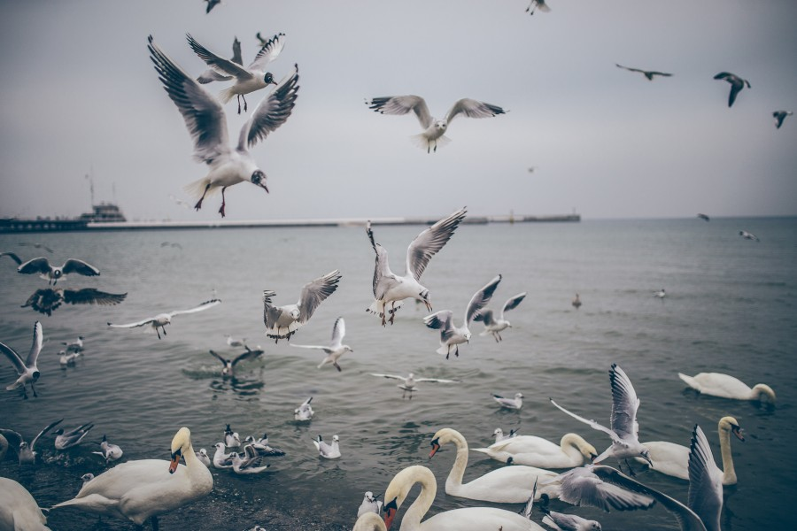 multitud, ave, aves, gaviota, marino, mar, costa, pesquero, comida,