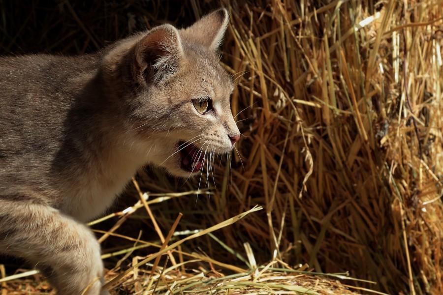 Pequeño gato montés aprendiendo a cazar