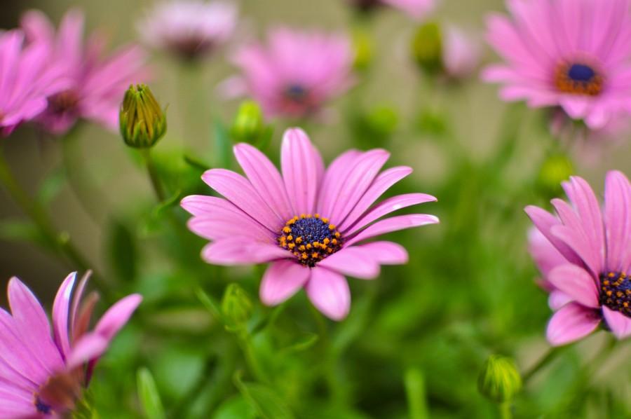 flores, primavera, jardín, planta, tierra, flor, capullo, pimpollo, brote, margarita, lila, naturaleza, Osteospermum púrpura, fondos de pantalla hd, fondos de pantalla 4k