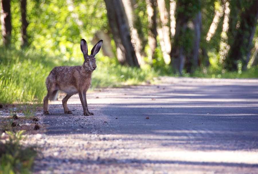 liebre, animal, uno, camino, bosque, salvaje,