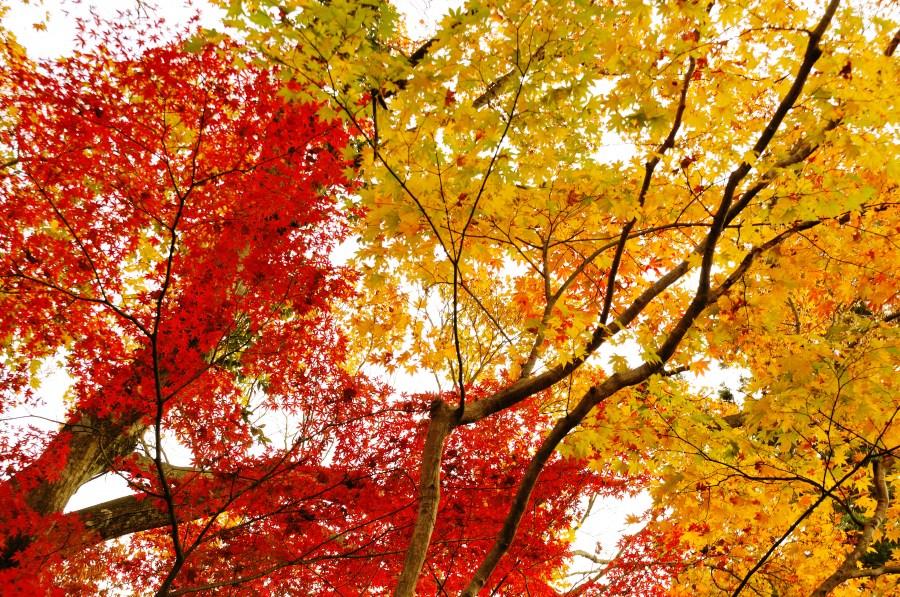 atardecer, fondo, background, otoño, hoja, hojas, rojo, rojizo, color, colores, naturaleza, nadie, arbol,