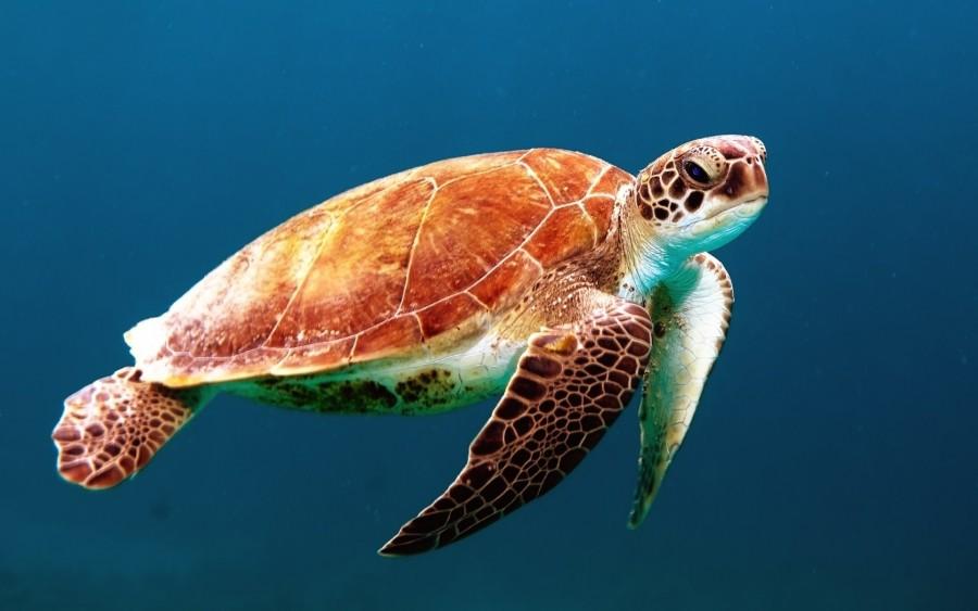 tortuga marina, animal, reptil, nadar, vida marina, salvaje, naturaleza,  fondos de pantalla hd, fondos de pantalla 4k
