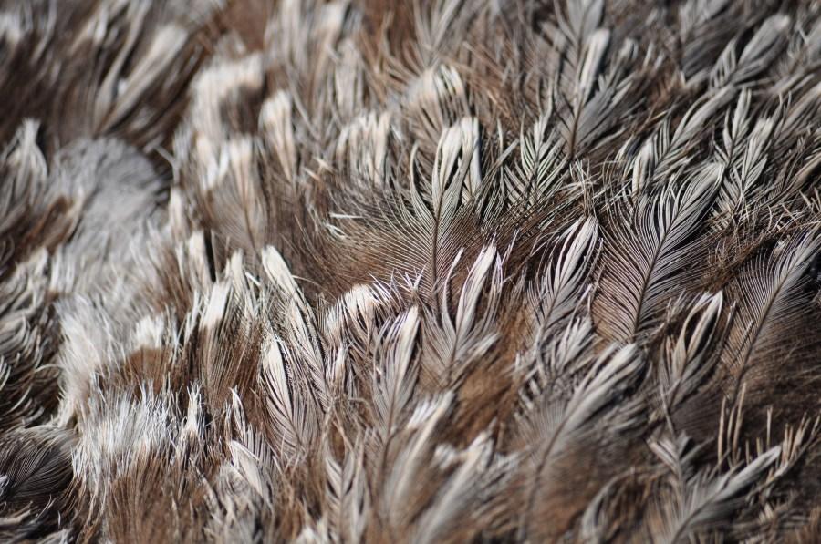 Avestruz, un animal, ave,  plumas, plumaje, veloz, velocidad, África,Africano,Altura,Animal,Apariencia,Ave,Avestruces,Aviar,Cabeza,Conservación,Conservar,Cuello,Struthio camelus