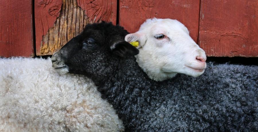 cordero, amistad, abrazo, animal, oveja, blanco, negro, tierno, adorable, amor animal, campo, animales campestres