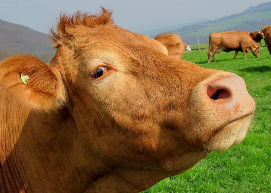 vaca, animal, cabeza, primer plano, ganado vacuno, campo, mirando a la camara, industria, marron,