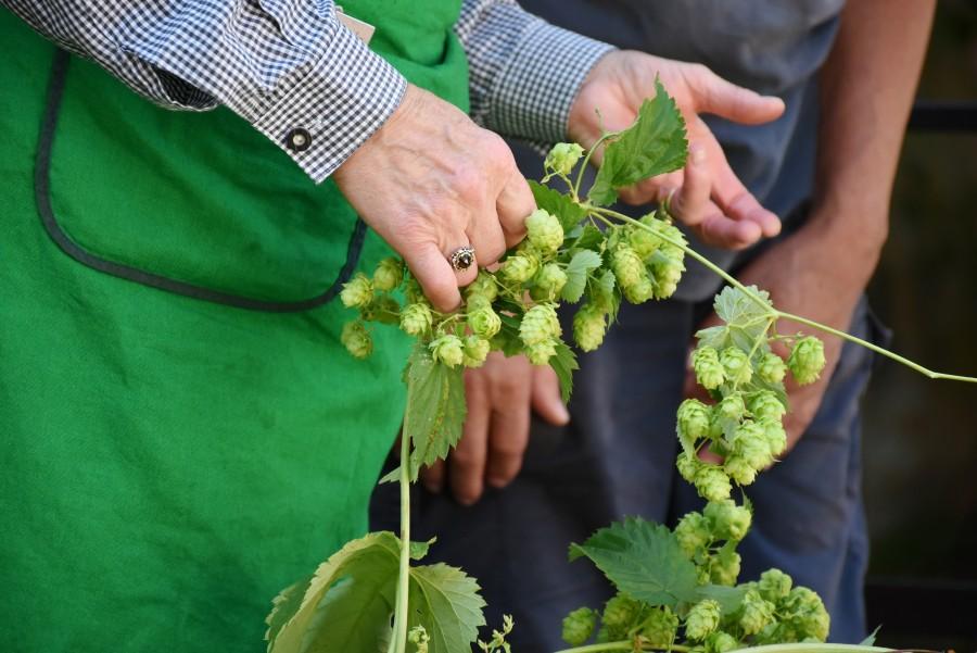 lupulo, planta, detalle, naturaleza, exterior, fruto, flor, amargor, cerveza, artesanal, hombre, productor, plantacion, recoleccion,