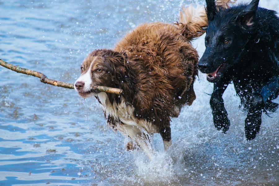perros, dos, jugar, jugando, agua, palo, rama, diversion, joven, activo, saludable, mascota, mojado, humedo, salpicar, fondos de pantalla hd, fondos de pantalla 4k