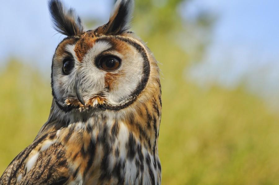 lechuza, búho, animal, ave, lechuza de campanario, rapaces nocturnos, plumas, alas, orejas, animal silvestre, vida silvestre