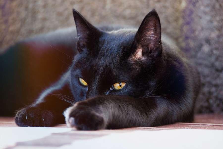 animal, gato, negro, mascota, relax, dormir, descanso, recostado, acostado,