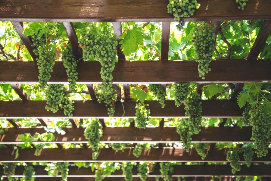 viñedo, viña, vid, uvas, fruta, parra, frutal, primavera, verde, cultivo, plantacion, racimo de uvas, racimo,