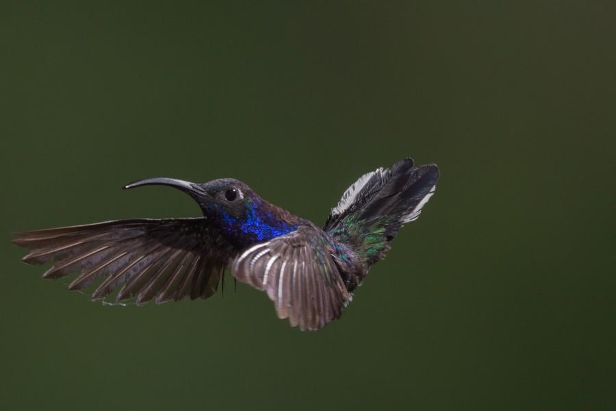 Colibri, ave, aves, volando, uno, velocidad, pico, belleza,