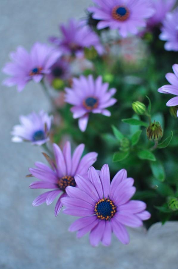flores, primavera, jardín, planta, tierra, flor, capullo, pimpollo, brote, margarita, lila, naturaleza, verde, hojas, polen, Osteospermum purpura