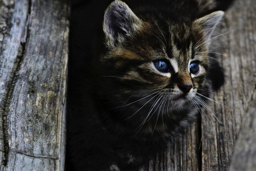 ojos azules, arbol, tronco, entre medio, asomado, gatito, bebé de gato, animales jóvenes, agresivo, caza, gato, pieles, encantadora, animales, carnívoros, lindo, esponjoso, cabello, bebé, mamífero, pata, mascotas, juguetón, retrato, pura sangre, pequeños, curioso, querido , fotos gratis,  imágenes gratis, Gato doméstico, Cabeza de animal, Retrato, Gato melado, Monada, Gatito, Animal, Fotografía, Mirando a la cámara, Animal doméstico, Animal joven, Color, Día, Horizontal, Interior, Mascota, Nadie, Ojo de Animal, Parte del cuerpo animal, Temas de animales, Un animal, adorable, tierno, mascota, peludo, melena, colores, pelos, rayas, felino, minino, micifuz, michino, madrileño, felido, gatuno,  fondos de pantalla hd, fondos de pantalla 4k, resolucion 4k, salvapantalla