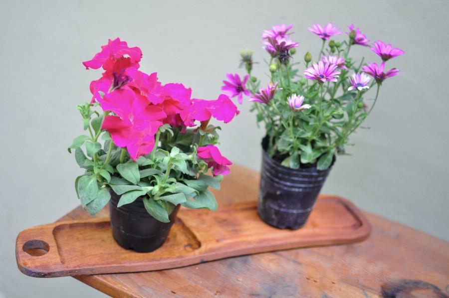 flores, primavera, jardín, planta, tierra, flor, capullo, pimpollo, brote, margarita, lila, naturaleza, verde, hojas, maceta, madera, mesa