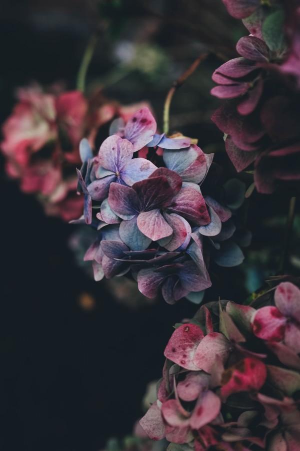 flores, naturaleza, pétalos, plantas, belleza, colorido, primavera, Hortensias