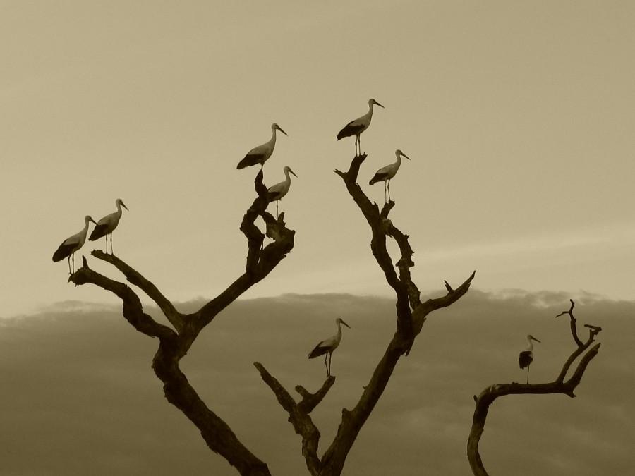 paisaje, fondo, background, ave, aves, garza, arbol, rama, ramas, naturaleza, blanco y negro, nadie,