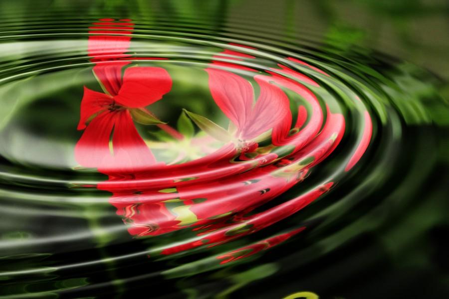 geranio, ola, el agua, anillos, círculo, círculos de ondas, fondo de pantalla, imagen de fondo, fondo, relajación, superficie, movimiento ondulatorio , fotos gratis,  imágenes gratis, fondo de pantalla hd, rojo
