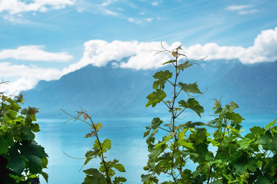 Puidoux, suiza, dia, paisaje, viñedo, viña, costa, europa, verano,