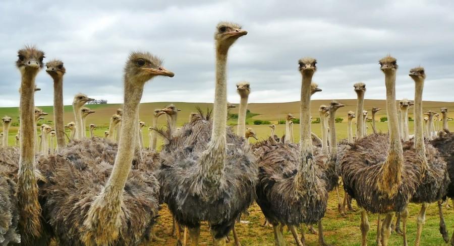 Avestruz, avestruces, campo, ave, aves, mucho, muchos, naturaleza,