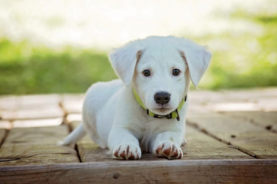 cachorro blanco cachorro, perro, mascota, animales, lindo, blanco, adorable, perrito, buscando , fotos gratis,  imágenes gratis, perro
