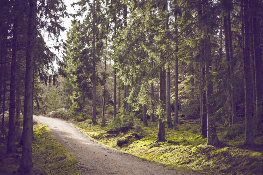 calle, camino, tierra, bosque, dia, exterior, nadie, pino, pinos, naturaleza, aire libre,