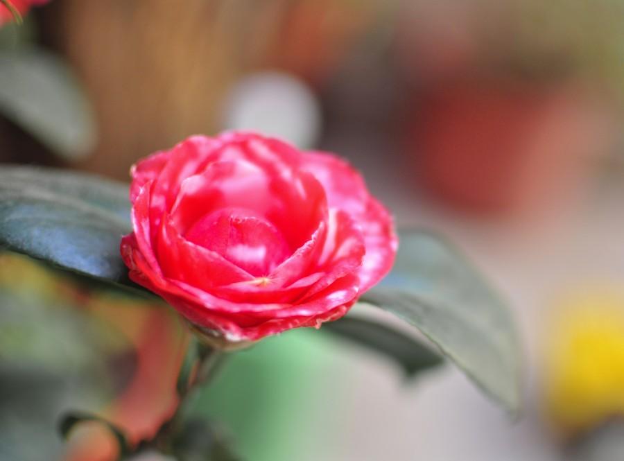 flores, primavera, jardín, planta, tierra, flor, capullo, pimpollo, brote, margarita, malvon, naturaleza, verde, hojas, maceta, rojo, camelia