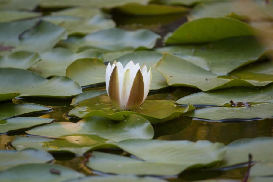 zen, relajación, flor de loto, hoja de loto, agua, laguna, flor, relax,  tranquilidad, distensión, meditación, budismo, sánscrito, Nelumbo nucifera, agua lodosa