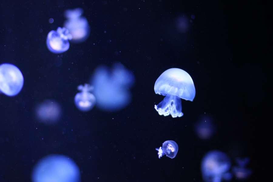 medusa, vida marina, fauna marina, animal, flotar, fondo, background, iluminado,