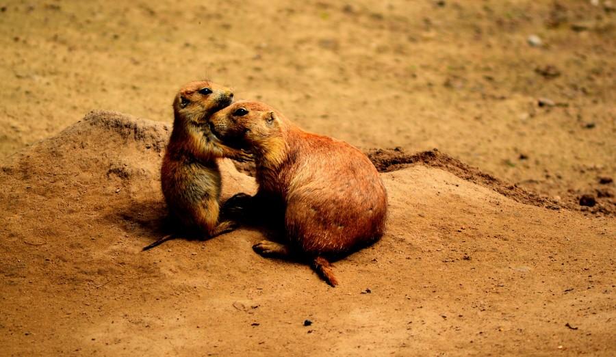 perros de la pradera, amigos, dulce, animales, mundo animal, padres, querido, lindo, gracioso, amistad, buena, la naturaleza, juntos, dos, afecto, marrón, amarillo, desierto, pradera