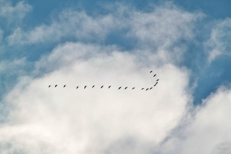 cielo, nublado, dia, bandada de pajaros, pajaros, volando, campo, rural, mucho, muchos, mal tiempo, clima, tormenta, migracion,