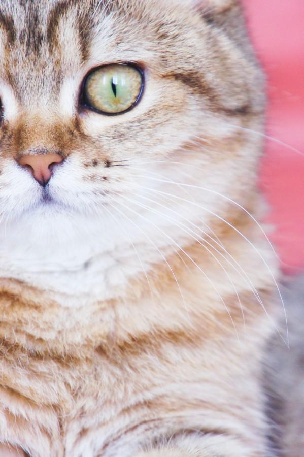 animal, gato, vista de frente, mirada, marron, mascota, felino,